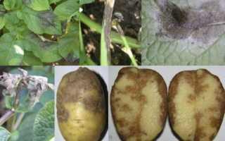 Фитофтора на картофеле: как бороться, описание и лечение с фото