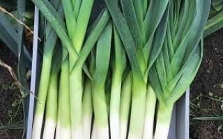 Лук-порей: выращивание и уход в открытом грунте от посадки до сбора урожая, полезные советы по этой теме