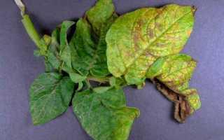 Морщинистая мозаика картофеля: описание и лечение с фото