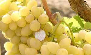 Виноград Аркадия: описание и характеристики сорта, посадка и уход, болезни с фото