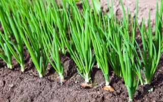 Лук репчатый: описание растения, посадка и уход в открытом грунте