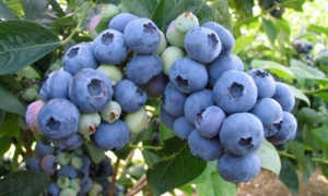 Голубика Бонус: описание сорта, посадка, выращивание и уход, хранение с фото