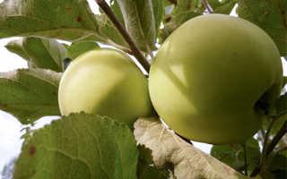 Яблоня Народное: описание сорта, характеристики и выращивание с фото