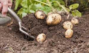 Срок созревания картофеля: сколько растет от посадки до сбора урожая?