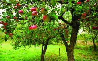 Когда сажать яблони в Подмосковье: оптимальные сроки, подготовка почвы и уход