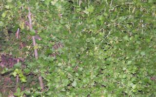 Подкормка крыжовника: чем удобрять, как правильно поливать летом и осенью