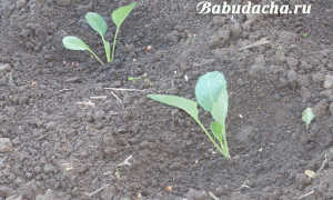 Когда окучивать капусту после высадки в грунт, как правильно: фото и видео