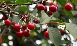 Когда созревает вишня: в каком месяце и как правильно собирать урожай