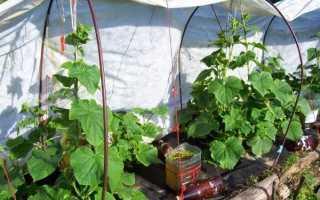 Огурцы на пленке без прополки и окучивания: как посадить и выращивать