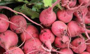 Редька розовая: описание сорта, полезные свойства и вред с фото