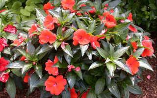 Бальзамин Том Самб: описание видов, выращивание и уход в домашних условиях