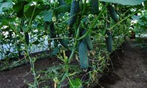 Обрезка огурцов в теплице: схема, как правильно, чтобы был хороший урожай с фото и видео