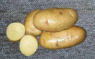 Картофель Ласунок: описание и характеристика сорта, урожайность с фото