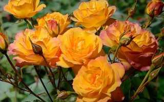 Роза Сахара: описание и характеристики сорта, правила выращивания, размножение