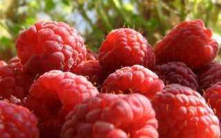 Сорт малины Гусар: описание и характеристики, урожайность, выращивание и уход с фото