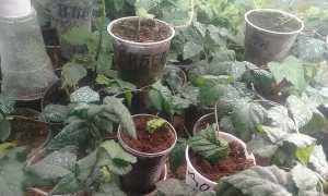 Размножение ежевики зелеными черенками и воздушными отводками в домашних условиях
