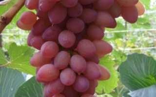 Виноград Водограй: описание и характеристики, плюсы и минусы сорта, выращивание