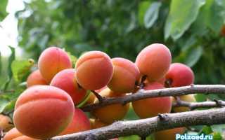 Осенняя подкормка абрикосовых деревьев