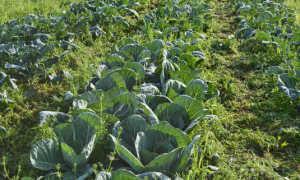 Гербицид для капусты: использование после и до всходов