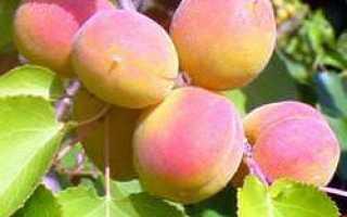 Абрикос Восторг: описание и характеристики сорта, выращивание с фото