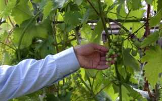 Горошение винограда: что делать и как избежать, причины и профилактика