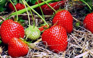 Клубника Берегиня: описание сорта и характеристики, выращивание и уход с фото