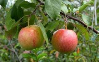Яблоня Родниковая: характеристики и описание сорта, урожайность с фото