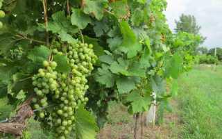 Уход за виноградом на Урале летом: посадка и выращивание в открытом грунте