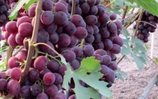 Виноград Заря Несветая: описание сорта и история, выращивание и уход