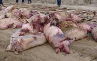 Африканская чума свиней: симптомы и лечение, опасность для людей, как передается