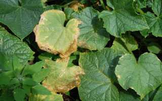 Сохнут листья у огурцов: почему и что нужно делать