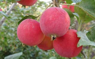 Яблоня Горноалтайское: описание сорта и особенности выращивания, история с фото