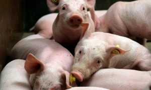 Болезнь Ауески у свиней: пути заражения, симптомы и лечение, профилактика