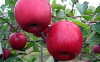 Яблоня Вишневое: описание и характеристика сорта, посадка и выращивание