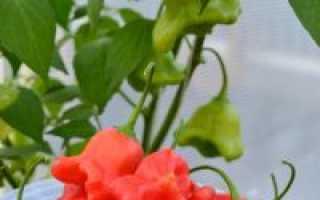 Перец Колокольчик: характеристика и описание, как выращивать фото