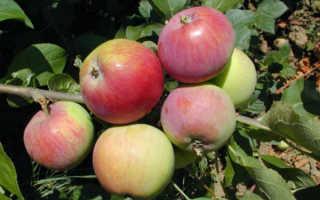 Яблоня Мантет: описание и характеристики сорта, посадка и выращивание с фото