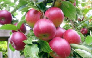 Яблоня Легенда: описание и характеристики сорта, правила выращивания и ухода с фото