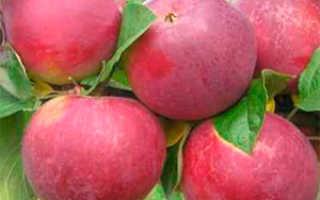 Яблоня Орлик: описание и характеристики сорта, выращивание и уход с фото