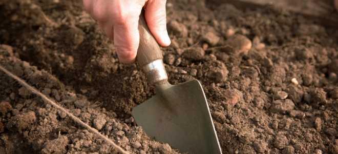 Свекла: выращивание и уход в открытом грунте для получения хорошего урожая с видео