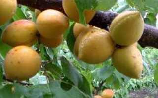 Абрикос Манитоба: описание сорта и урожайность, посадка и уход с фото