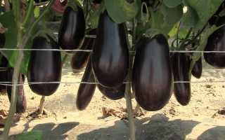 Баклажан Марципан F1: описание и характеристика сорта, урожайность с фото