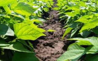 Что посадить после фасоли на следующий год, можно ли чеснок