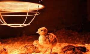 Лампа для обогрева цыплят: лучшие варианты, какую выбрать, особенности красной и керамической