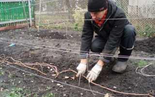 Как на зиму укрывать виноград: подготовка и правильные способы утеплить