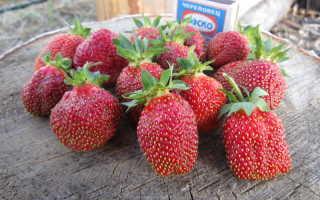 Клубника Марышка: описание сорта и характеристики, выращивание и размножение