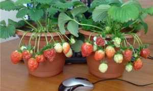 Выращивание клубники в горшках: как посадить и ухаживать, подходящие сорта