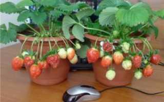 Как вырастить клубнику дома круглый год: разведение и особенности ухода