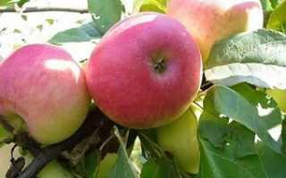 Яблоня Мальт Багаевский: опыление, описание и урожайность сорта с фото