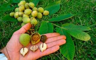Настойка маньчжурского ореха: с водкой, медом, спиртом, польза и вред, как принимать