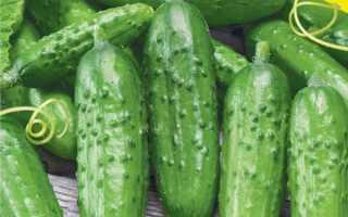 Огурец Родничок F1: описание среднеспелого сорта, отзывы и фото садоводов, правила выращивания для получения хороших урожаев